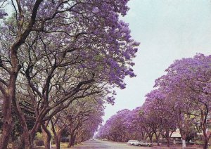 Avenue of Jacarandas by Graham Bould