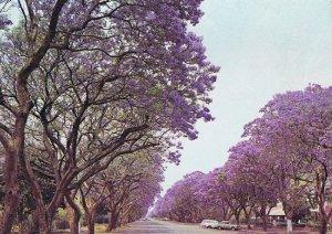 Avenue of Jacarandas by Graham Bould